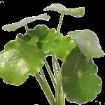 centella asiatica cellulite o ritenzione idrica